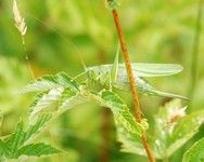 [Great green bush cricket]