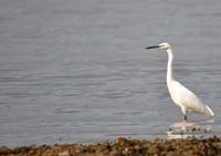 [little egret]